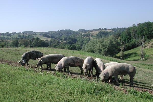 Porcs-Fermiers-APVC