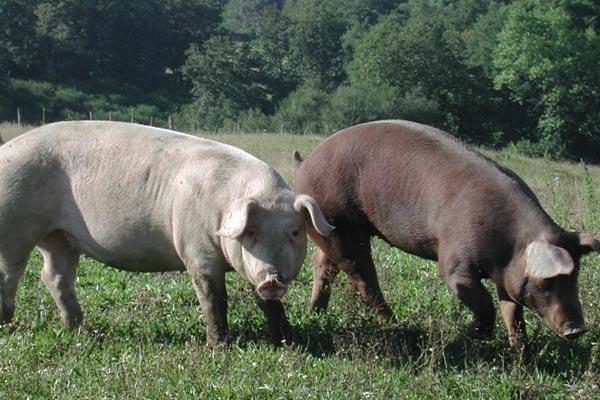 Porc-APVC